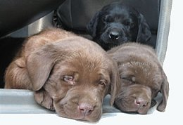 Chocolate Labrador puppy - to die for...